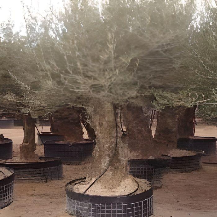 Olea europaea (Oliviers) (Pot de 3 litres - 80/…