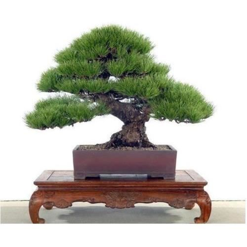 5 Graines De Bonsai Japonais Black Pine Achat Vente Graine Semence 5 Graines De Bonsai