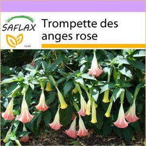 rose 50 GRAINES fleurs de couleur Brugmansia suaveolens Ange Trompette