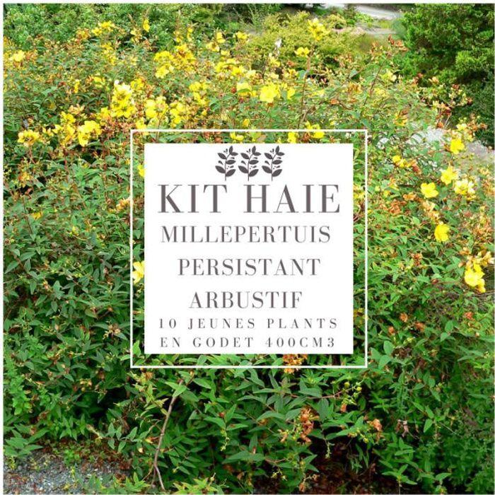 Kit Haie Basse Millepertuis Persistant Arbustif (Hypericum Hidcote) - Haie en Kit - 10 Jeunes Plants