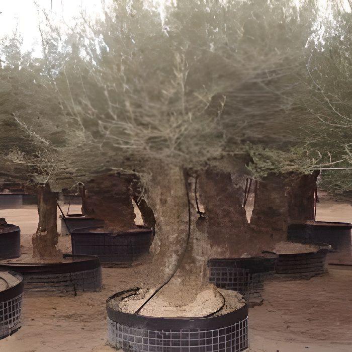 Olea europaea (Oliviers) (Pot de 5 litres – 100…