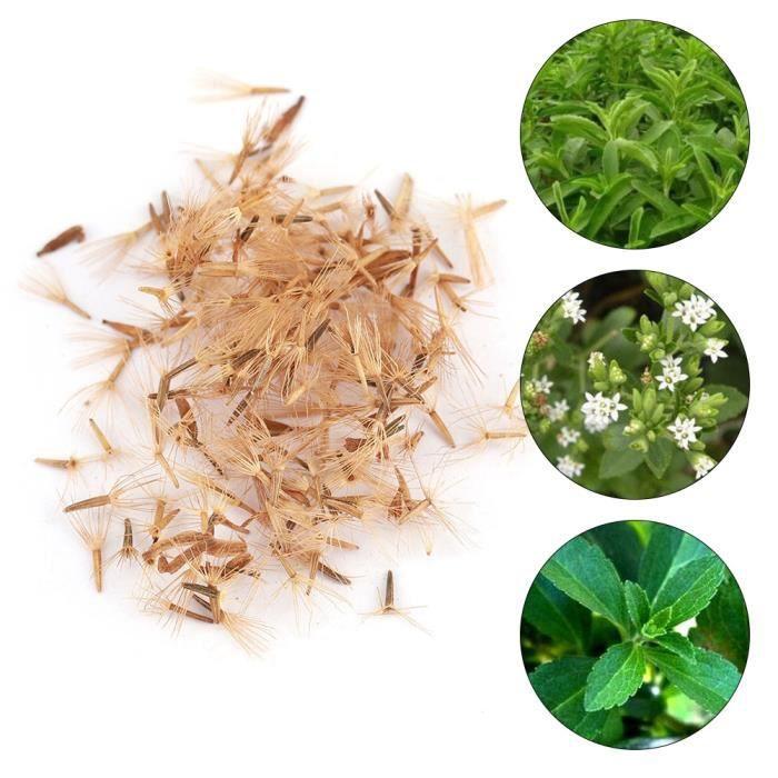 50pcs culture fleur Stevia Rebaudiana graines édulcorant naturel jardin plantation -CYA