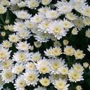 ARBRE - BUISSON CHRYSANTHÈME 'MULTIFLEURS' : blanc Pot de 3 litres