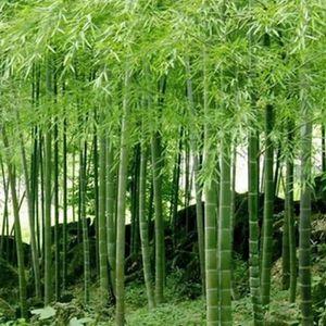 100 Pièces Graines Vert Boston Ivy Bonsai plant rare livraison gratuite 2019 facile à cultiver