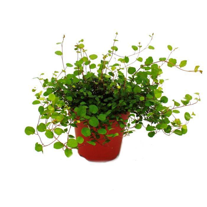 Cactus Euphorbe 100//120 cm plante naturelle avec pot de couleur inclus