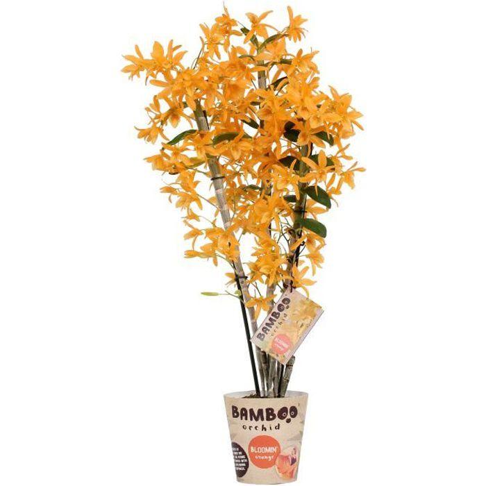 Orchidée de Botanicly – Bambou Orchidée – Hauteur: 50 cm, 3 pousses, fleurs d'oranger – Dendrobium nobile Firebird plante naturelle