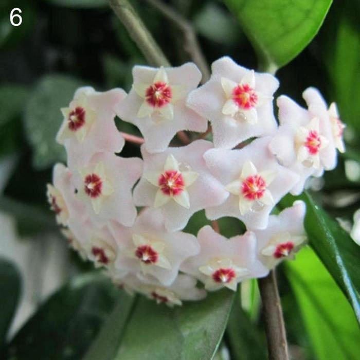 bodhi 6 # Hoya Graines 300 Pcs Mixte Couleur Fleur Hoya Graines Balle Orchidée Maison Jardin Jardin Balcon Décor