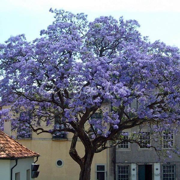 50Pcs Graine de arbre Kiri Paulownia tomentosa deco de la route Aw19004