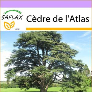 Atlas Cèdre Cedrus Atlantica bleu aiguilles 100 graines