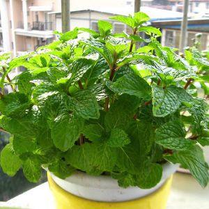graines cataire aromatiques graines plantes semences dherbes pour la maison jardin 100 pcs chat menthe Plantes aromatiques cataire