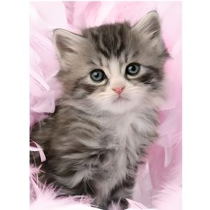 PUZZLE Puzzle Animaux Chat / Chatons Gris 500 Pieces - Ra