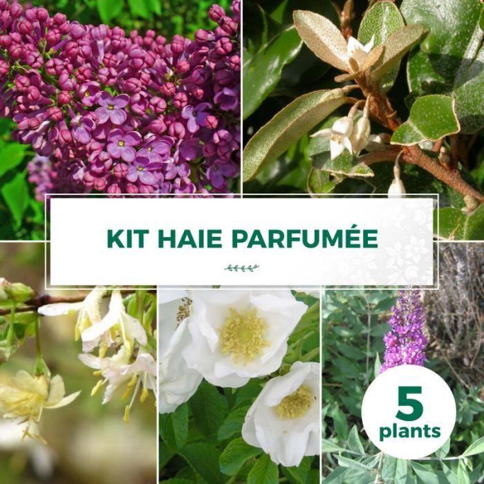 Kit Haie Parfumée - 5 Jeunes Plants 5 jeunes plants : taille 20-40cm