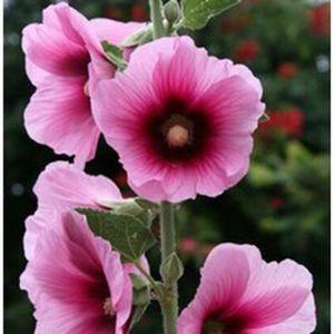"""Alcea rosea /'Apple Blossom /""""Rose pâle//double à fleurs rose trémière//20 graines"""