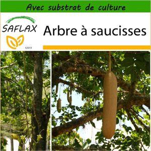GRAINE - SEMENCE SAFLAX - Arbre à saucisses - 10 graines - Avec sub