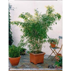 ARBRE - BUISSON Bambou