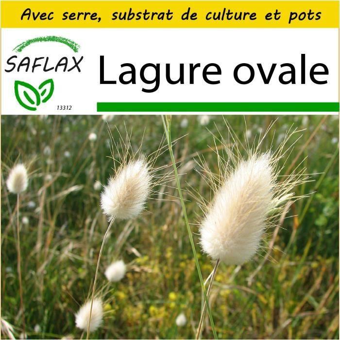 SAFLAX - Kit de culture - Lagure ovale - 100 graines - Lagurus ovatus