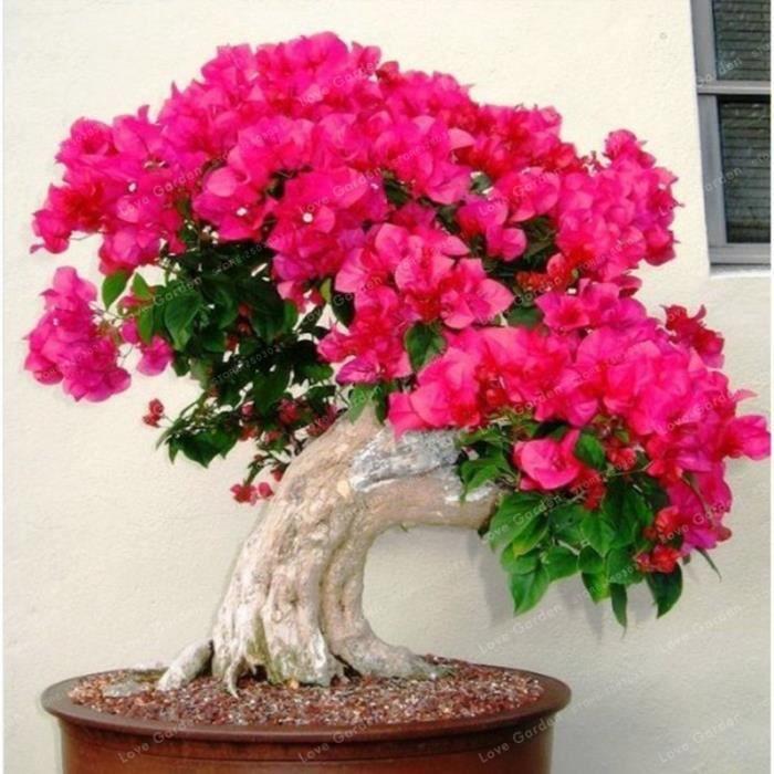 Version 2 - Rare Sakura Bonsaï Fleur Cerisier Fleurs Arbre Plantes Pour La Maison Jardin Pièces #11 #95