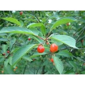 DÉFENSE IMMUNITAIRE  Cerise Queue ENTIERE 100 GRS Prunus cerasus. - ...
