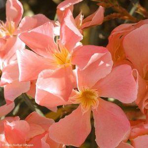 PLANTE POUSSÉE LAURIER ROSE SAUMON - NERIUM OLEANDER 20 à 30 cm d