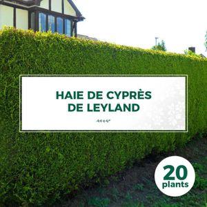 ARBRE - BUISSON 20 Cyprès De Leyland (Cupressocyparis Leylandii) -