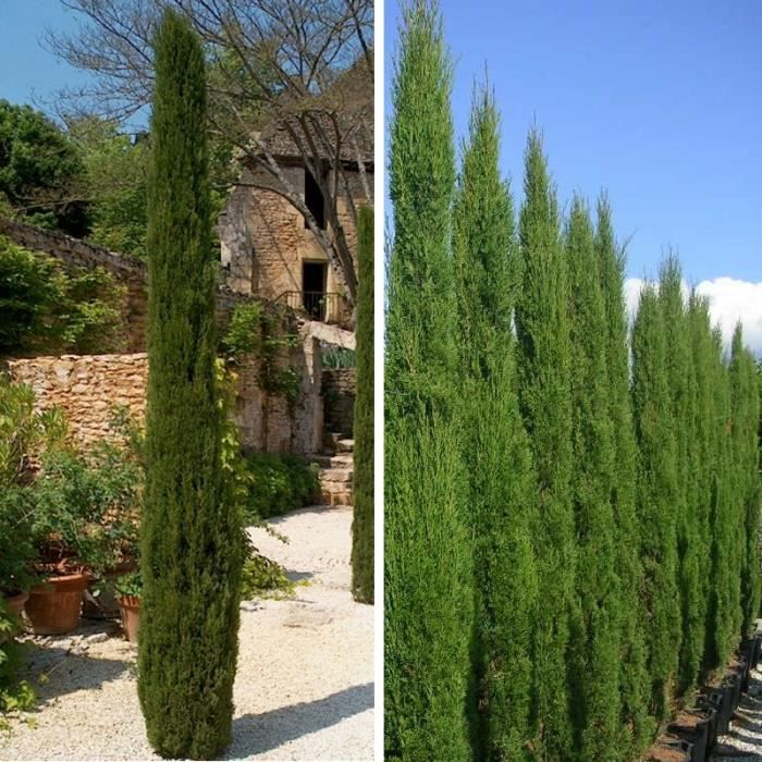 cupressus sempervirens 39 totem 39 cypr s d 39 italie achat vente arbre buisson cupressus. Black Bedroom Furniture Sets. Home Design Ideas