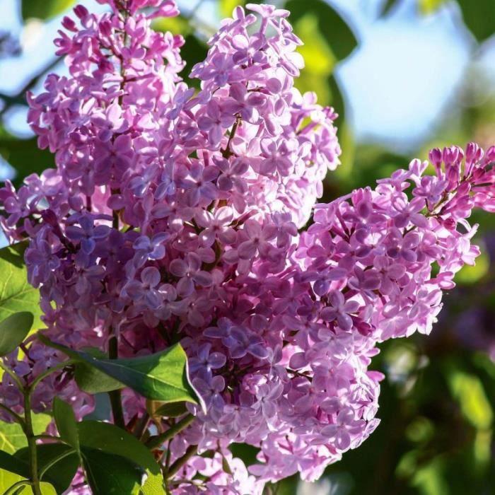 Lilas Commun 'Belle de Nancy' (Syringa Vulgaris) Pot 3L - aille 20/40cm Rose