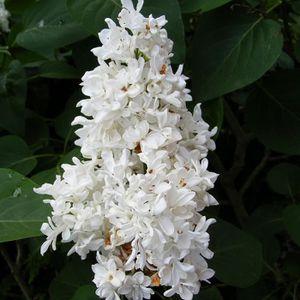 Syringa vulgaris Sensation Lilas violet et blanc /Ã/ fleurs simples