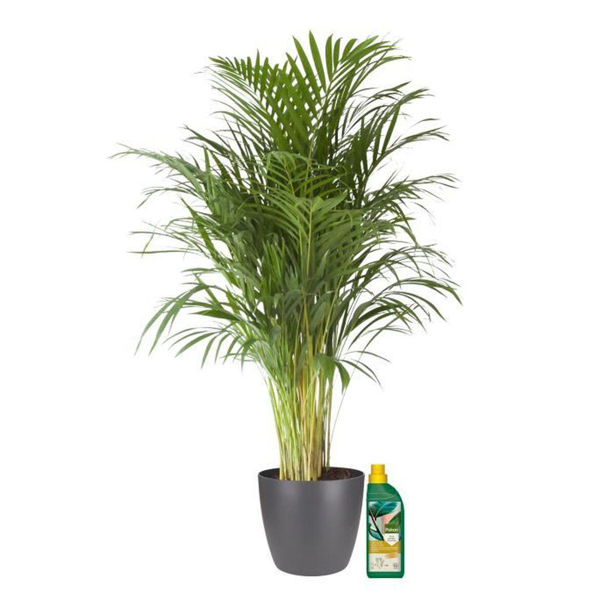 Plante Exterieur Toute Saison Pas Cher plantes vertes d intérieur – palmier d'arec en pot de fleur