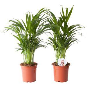 PLANTE POUSSÉE Palmier | 2 plantes | plante d'intérieur| hauteur