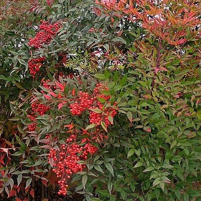 Nandina domestica - Bambou sacré