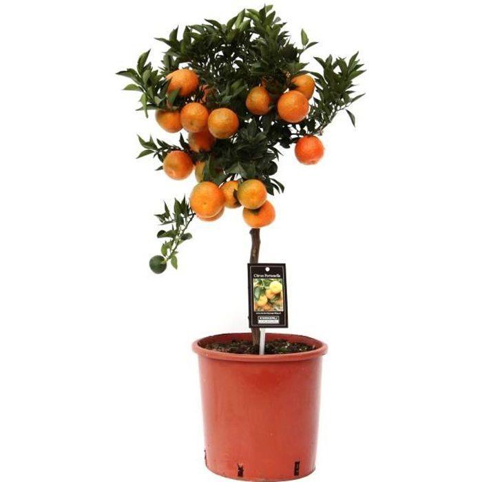 Fruit de Botanicly – Citrus Mandarin – Hauteur: 85 cm plante naturelle