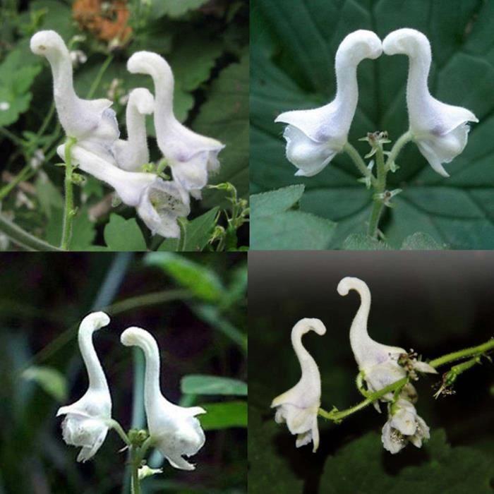 100 PCs rare Fleurs de cygne graines fleurs blanches Decor Maison Jardin plantation