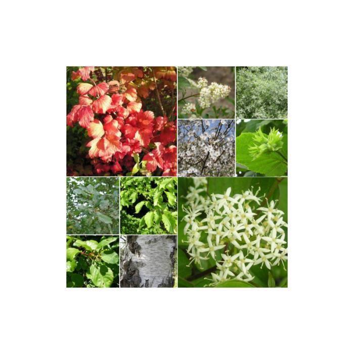 Kit Haie Brise-Vent - 10 Jeunes Plants