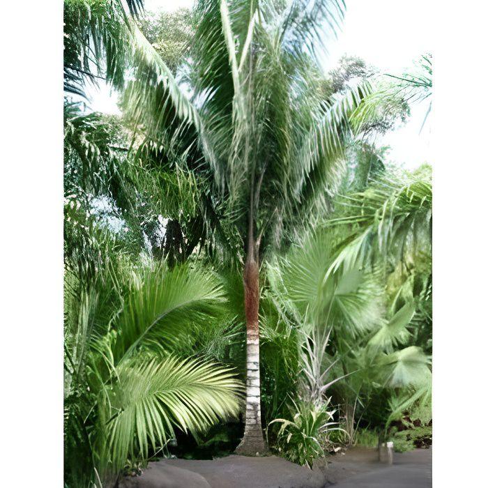 Dypsis malcomberi palmier lot de 50 graines