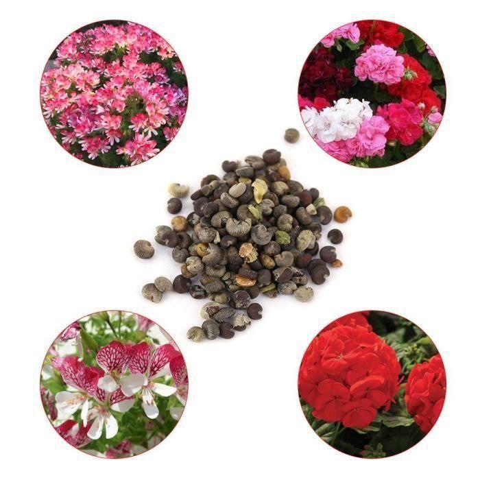 Graine semence 5 * 100 pcs Mix Couleur Geranium Graines Bonsaï En Pot Fleur Plante Jardin Cour