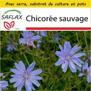 Chicorée SAFLAX - Kit de culture  - Chicorée sauvage - 250
