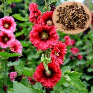Rose Assortiment 40 rose trémière Graines