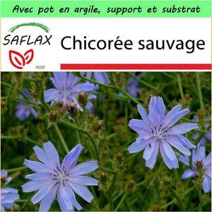 Chicorée SAFLAX - Jardin dans la boîte - Chicorée sauvage -