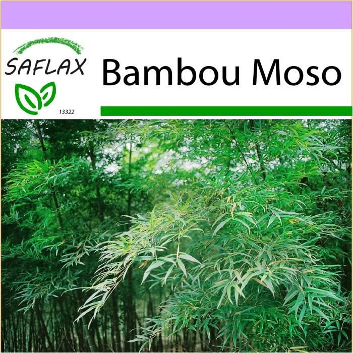 SAFLAX - Bambou Moso - 20 graines - Phyllostachys pubescens