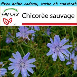 Chicorée SAFLAX - Kit cadeau - Chicorée sauvage - 250 grain