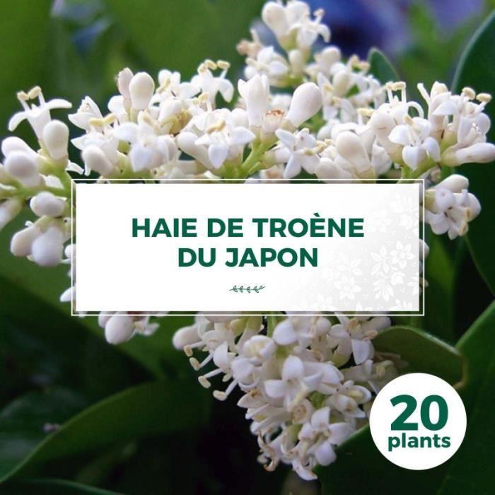 20 Troène Du Japon (Ligustrum Japonicum) - Haie de Troène du Japon 20 jeunes plants : taille 20-40cm Blanc
