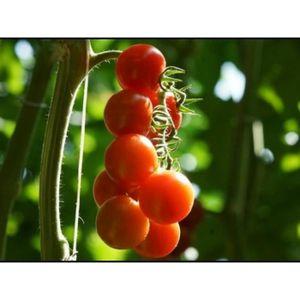 50 Graines de Betterave Jaune légumes ancien jardin méthode BIO