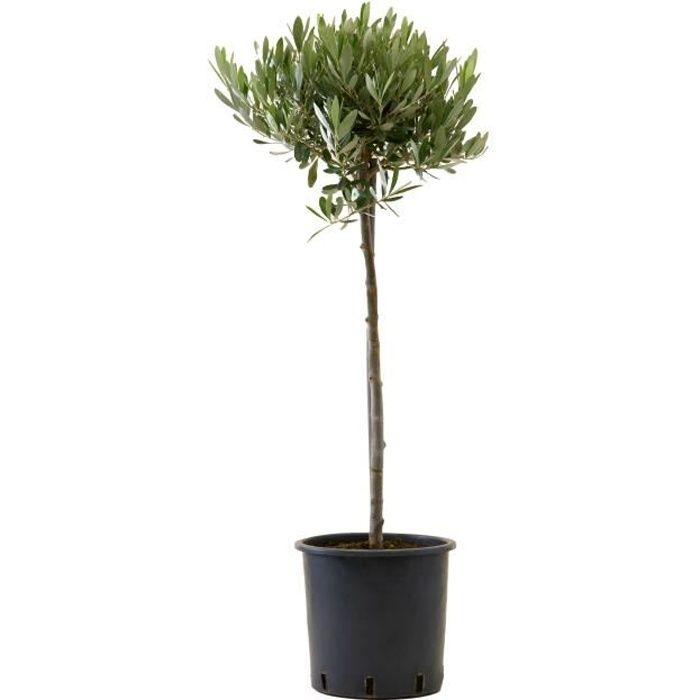 Olivier - plante d'intérieur- hauteur 100 cm - Pot 21 cm - Entretien facile