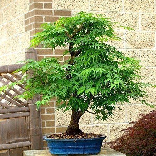 20PCS Graines Érable Japonais Bonsaï Acer Palmatum Jardin Décoration Exotique, 2# Vert