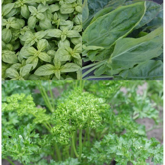 Lot de graines oseille basilic persil
