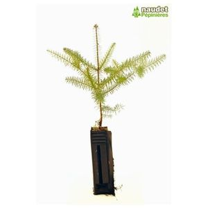 sapin a planter achat vente sapin a planter pas cher soldes d s le 10 janvier cdiscount. Black Bedroom Furniture Sets. Home Design Ideas