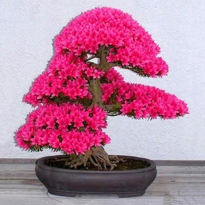 MOR 10pcs Sakura Fleur Graines Parfumé Maison Jardin Plant Graine Bonsai Décoration De Partie