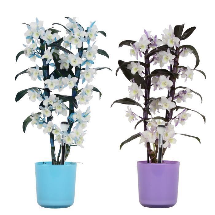 Orchidées de Botanicly – 2 × Bambou Orchidée – Hauteur: 50 cm, 2 pousses, fleurs violettes et blanches – Dendrobium... plante nature
