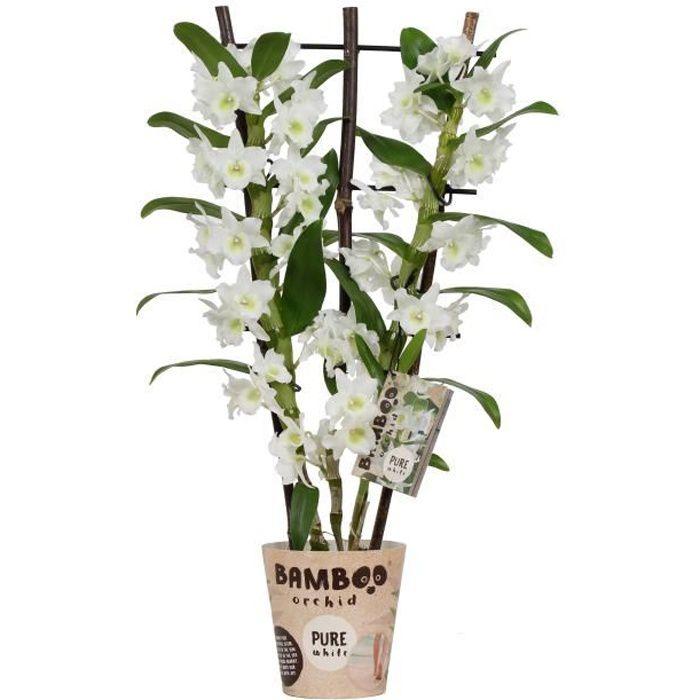 Orchidée bambou Fleur Blanche - plante d'intérieur- hauteur 50 cm - Pot 12 cm - Entretien facile