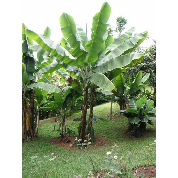 BANANIER JAPONAIS- MUSA BASJOO - MUSA JAPONICA - Plant d'un an fourni -Croissance rapide- Hauteur-adulte: 5 mètres- Fleurs jaunes
